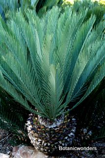 "Cycad Encephalartos lehmanii ""Sago Palm"" {which isn't a palm at all. It's in the Pine family]"