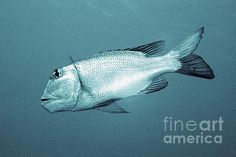 Marine photography of an Emperor Fish by Andrew Bret Wallis