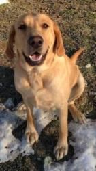 Tank is an adoptable Labrador Retriever Dog in Indianapolis, IN. Meet Tank! This handsome hunk is new to LOLIN, and we don't think he will be waiting for a home for very long! Tank is 2 years old and ...
