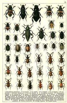 1. Necrophorus germanicus 2. Necrophorus humator 3. Necrophorus vespillo 4. Necrophorus vestigator 5. Necrophorus investigator 6. Necrophorus vespilloides 7. Necrodes litoralis (m) 8. Necrodes litoralis (f) 9. Oeceoptoma thoracica 10. Thanatophilus rugosus 11. Thanatophilus sinuatus (f) 12. Thanatophilus dispar 13. Xylodrepa quadripunctata 14. Silpha obscura 15. Blitophaga undata 16. Phosphuga atrata 17. Necrophilus subterraneus 18. Agyrtes castaneus 19. Choleva elongata 20. Catops fuscus