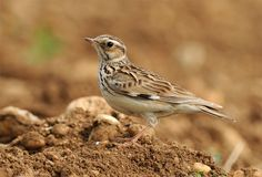 Bimaculated Lark - breeds in warm temperate countries eastwards from Turkey into Central Asia; wintering in northeast Africa, throughout the Greater Middle East to Pakistan, India and Tibet