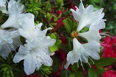 Sketch On Kyoto: Rhododendron(ツツジ) 神泉苑(京都市中京区御池通神泉苑東入る)
