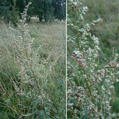 Pujo, Artemisia vulgaris Suna, Espoo Niitty/Pelto 21.8.2016  Miikka Ijäs