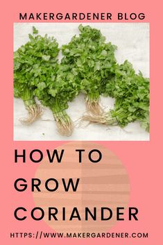 How to grow and harvest coriander. From sowing seeds to growing and harvesting Growing Vegetables At Home, Kinds Of Vegetables, Organic Vegetables, Organic Gardening, Gardening Tips, Growing Coriander, Grow Lemongrass, Growing Seeds, Growing Plants