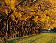 31 árvores que você pode plantar em sua calçada, produzem frutos, sombras e flores, não destroem calçadas e nem danificam a rede elétrica | Ubajara Notícias
