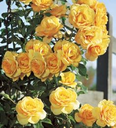 zone 3 rose bushes | Scent from Above Climbing Rose Bush | eBay