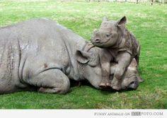 Rhino baby chillin on mom's head - Funny and cute baby rhino lying on mother rhino head smiling.