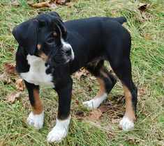 28 Dogs With Extraordinary Fur Patterns And Markings Like BOXERS WITH THREE COLORS ARE RARE, BUT THIS TRI-COLOR PUP HAS MOSTLY BLACK FUR.
