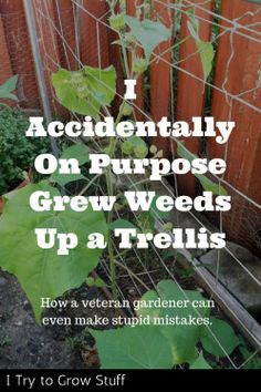 I grew weeds up a trellis on purpose…by accident. How a veteran gardener can even make mistakes.