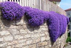 Terrace Garden - Flower seeds Creeping Thyme Seeds or Blue ROCK CRESS seeds - Perennial Ground cover garden decoration flower AA This time, we will know how to decorate your balcony and your garden easily with plants Flowers Perennials, Planting Flowers, Flower Plants, Flower Gardening, Purple Perennials, Flowers Garden, Bonsai Flowers, Flower Garden Design, Hardy Perennials