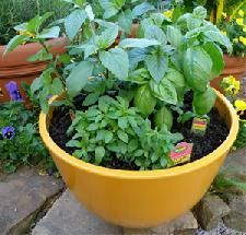 San Diego Pest Control SWEET BASIL Plant sweet basil next to the doors, or plant in containers. The flies will stay far away. Cut a nice size bunch of it to take with you when you go on picnics. As an added bonus, mosquitoes don't like it either. Best Pest Control, Pest Control Services, Organic Gardening, Gardening Tips, Container Gardening, Balcony Gardening, Vegetable Gardening, Organic Insecticide, Mosquitos