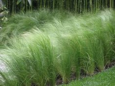 Nassella (Stipa) Tenuissima - Evergreen feather grass, a wonderful base to plant more structural plants through such as Alliums, Crocosmia and Agapanthus