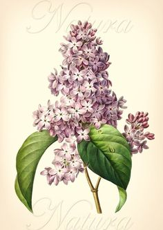 Gorgeous lilac art print