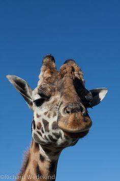 """The Farm"" animal, Gibbs Farm, Kaipara. Farm Animals, Giraffe, Digital, Photos, Felt Giraffe, Pictures, Giraffes"
