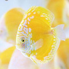 【europadiscuscenter】さんのInstagramをピンしています。 《Golden Checkerboard Duscus with solid pattern 💛💛#discus #diskus #diskusfische #aquarium #symphysodon #tropicalfish #discusfarm #discusfish #fish #discusbreeding  #fishfarm #fishtank #fishkeeper #freshwater #discushatchery #freshwaterfish #ディスカス #アクアリウム #魚 #水槽 #熱帯魚 #tropical #breeding #breedingfarm #cichlids #cichliden #cichlid #七彩神仙 #diskusfisch》
