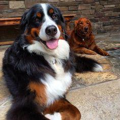 Pretty girls. #dog #dogs #katanddog #berner #bernese #bernesemountaindog #bmd #golden #goldenretriever #retriever