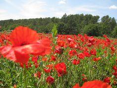 Poppy Field, Southern France