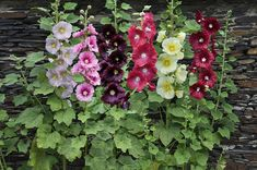 Shop for Hollyhock Seeds by the Packet or in Bulk.Com offers the Finest and Freshest Hollyhock Flower Seeds Anywhere. Growing Hollyhocks, Hollyhocks Flowers, Malva, Indian Springs, Ornamental Plants, Flowering Plants, Garden Seeds, Flower Seeds, Summer Garden