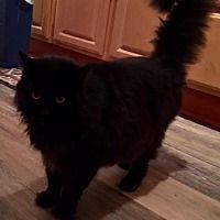 Oakhurst, New Jersey - Maine Coon. Meet Eisenhower, a for adoption. https://www.adoptapet.com/pet/21097061-oakhurst-new-jersey-cat
