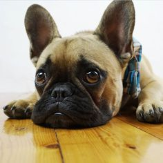 """Caption this! .... """"what's work and why does mom always have to go there?"""", Toby the Sad French Bulldog ☹️ @tobychews on Instagram"""