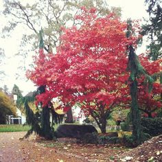 Washington in the Fall, Red Tree