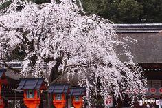 平野神社 Cherry blossoms SAKURA in Kyoto JAPAN