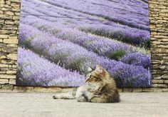 Le chat mascotte du musée de la lavande à Coustellet