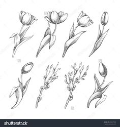 Set Of Spring Flowers Tulips Branches. Pencil Sketch Collection Vector Illustration - 259657598 : Shutterstock