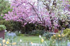 Geniesser-Garten : Die Schoensten Baeume fuer den Garten - Prunus Kanzan - Nelkenkirsche