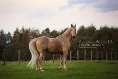 Tennessee Walking Horse gelding