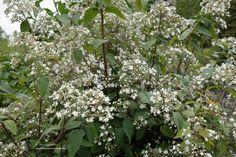 Deutzia setchuenensis var. corymbiflora – bruidbloem, overhangende struik tot 1.5 m. bloeit wit, vrij laat en vaak tot in oktober. Heeft een grijze uitstraling door de sterharen waar de plant mee is bedekt. Heeft een beschutte standplaats nodig, kan invriezen.