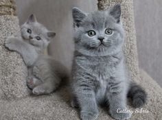 - British Shorthair - Ideas of British Shorthair - Quanta fofura! The post Quanta fofura! appeared first on Cat Gig. Cute Baby Cats, Kittens And Puppies, Cute Cats And Kittens, Cute Baby Animals, Kittens Cutest, Animals And Pets, Grey Kitten, Grey Cats, Gato Munchkin