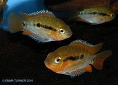 Rainbow Cichlid (Archocentrus multispinosus) www.fishkeeper.co.uk #tropicalfish
