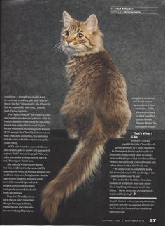 Chantilly Cat Fancy 2014 pt 3 Contributor: Crystal Wolf Chantilly Cat, Chantilly Tiffany, Fancy Cats, Cat Breeds, Cats And Kittens, Wolf, Crystal, Cat, Crystals
