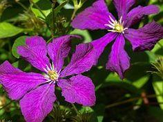 Pruning Clematis with Sensible Gardening