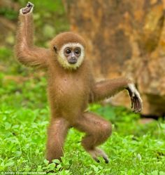 Strictly animal dancing: Gollum the gibbon tries out some dance moves as she sashays through the foliage