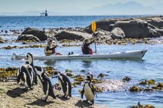 Kayak trips in Cape Town with Kayak Cape Town. Get your first taste of sea kayaking in the best location in the world! No experience necessary in our stable, sit-on-top, two person kayaks. Cruise the coastline and see African Penguins in one of the most unique places in the world – a penguin colony in suburban Cape Town. In winter whale season there is an excellent chance of seeing the magnificent Southern Right whale from your kayak. #dirtyboots #kayaking #capetown