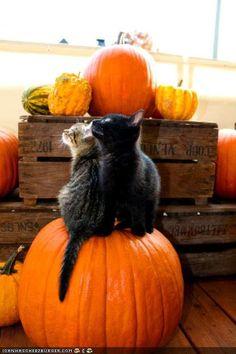 Oh goodness - cute kittens on a pumpkin! Oh goodness - cute kittens on a pumpkin! Crazy Cat Lady, Crazy Cats, I Love Cats, Cute Cats, Funny Cats, Adorable Kittens, Halloween Cat, Happy Halloween, Halloween Horror