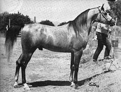 SHOOFIZO (Ibn Hafiza x Shook) 1970-1982 grey gelding bred by the EAO; imported to the US en utero by James Kline. Sired only 5 registered purebreds