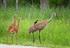 Wisconsin USA: Sandhill Cranes http://ift.tt/1Ol4o3I