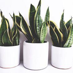 New plants indoor low light air purifier sansevieria trifasciata Ideas
