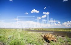 African tortoise walking next to a road in the Karoo, South Africa Snatch Stock Images - Stock Photography | Vectors | Graphics | Videos