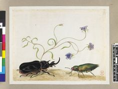 Studies of beetles, with a blue-flowered plant, from an album entitled 'Merian's Drawings of Surinam Insects &c'; one black beetle resembling a stag-beetle, the other green Watercolour, strengthened with gum, and bodycolour, heightened with white, on vellum. Drawn by: Maria Sibylla Merian. School/styleGerman. Date1701-1705 (circa).