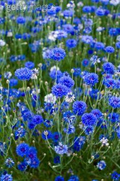 Cornflowers ~ My second favorite flower.