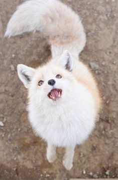 Cute Little Animals, Cute Funny Animals, Cute Dogs, Nature Animals, Animals And Pets, Fox Dog, Wild Dogs, Tier Fotos, Cute Creatures