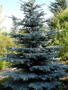 The names Colorado spruce, blue spruce and Colorado blue spruce tree all refer to the same magnificent tree—Pica pungens. Read here for information on how to grow a Colorado blue spruce.