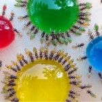 #Translucent #Ants Photographed Eating Colored Liquids #aceexterminating