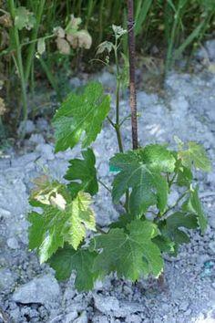 Junger Wein. #Mallorca #Spain