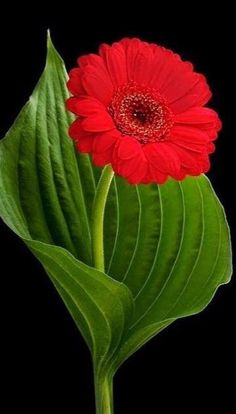 Red Gerbera Daisy with Green Hosta Leaf on Black Background Tropical Flowers, Flowers Nature, Exotic Flowers, Amazing Flowers, Beautiful Roses, Beautiful Flowers, Flor Magnolia, Rare Orchids, Floral Photography