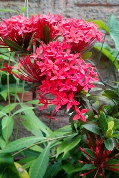 Flores vermelhas da minha vida. #flower #flor #miniixora #florvermelha #flowerred